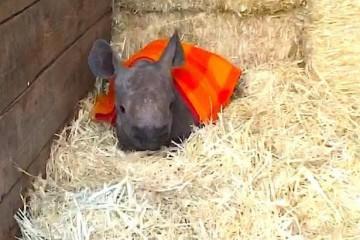 1 baby rhino